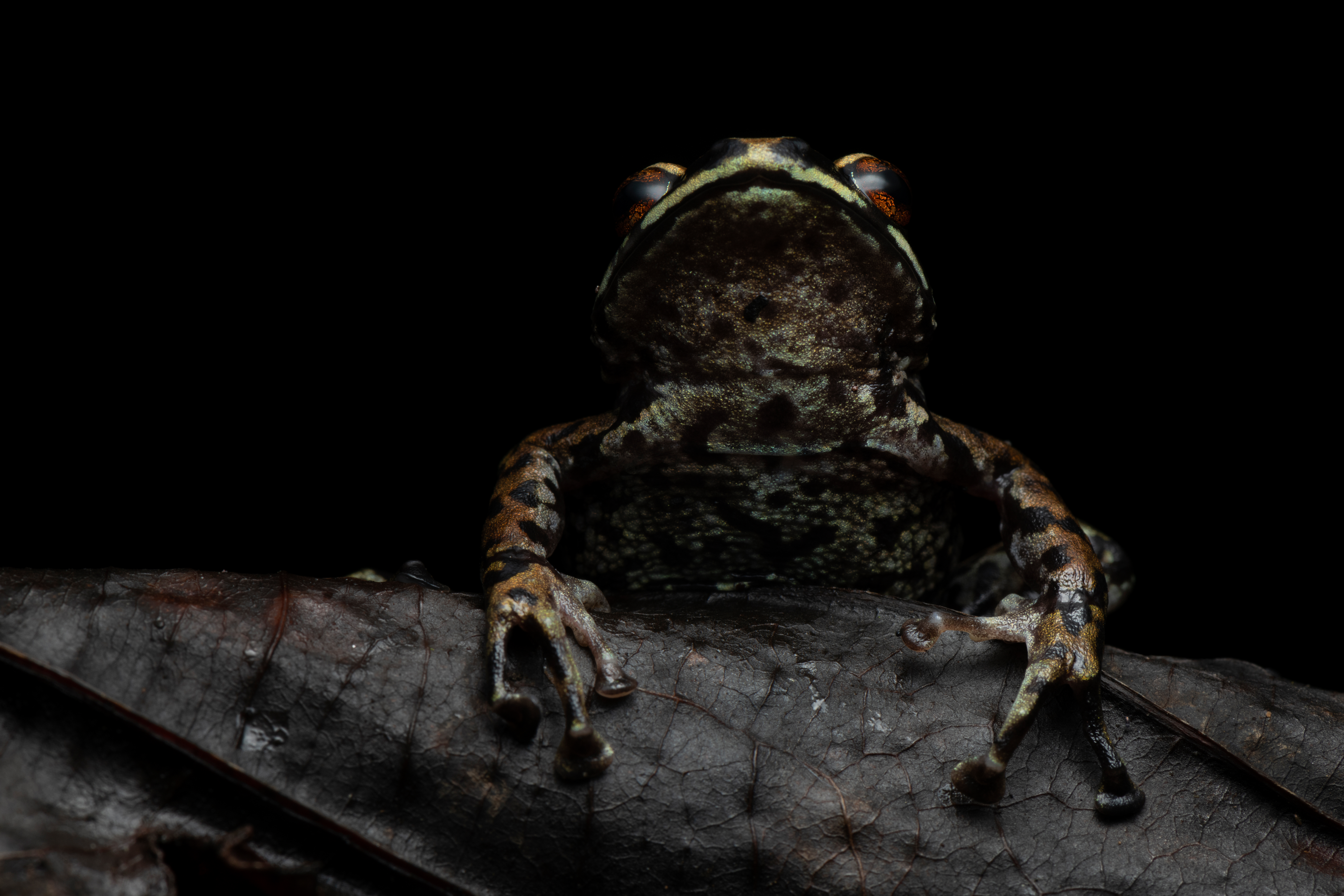"""Artist comments: """"This beautiful rain frog was found on a late-night hike in the foothills of the Ecuadorian Andes. I used a heavily diffused off-camera flash with a reflector to try to highlight the rich color and texture of its skin."""""""