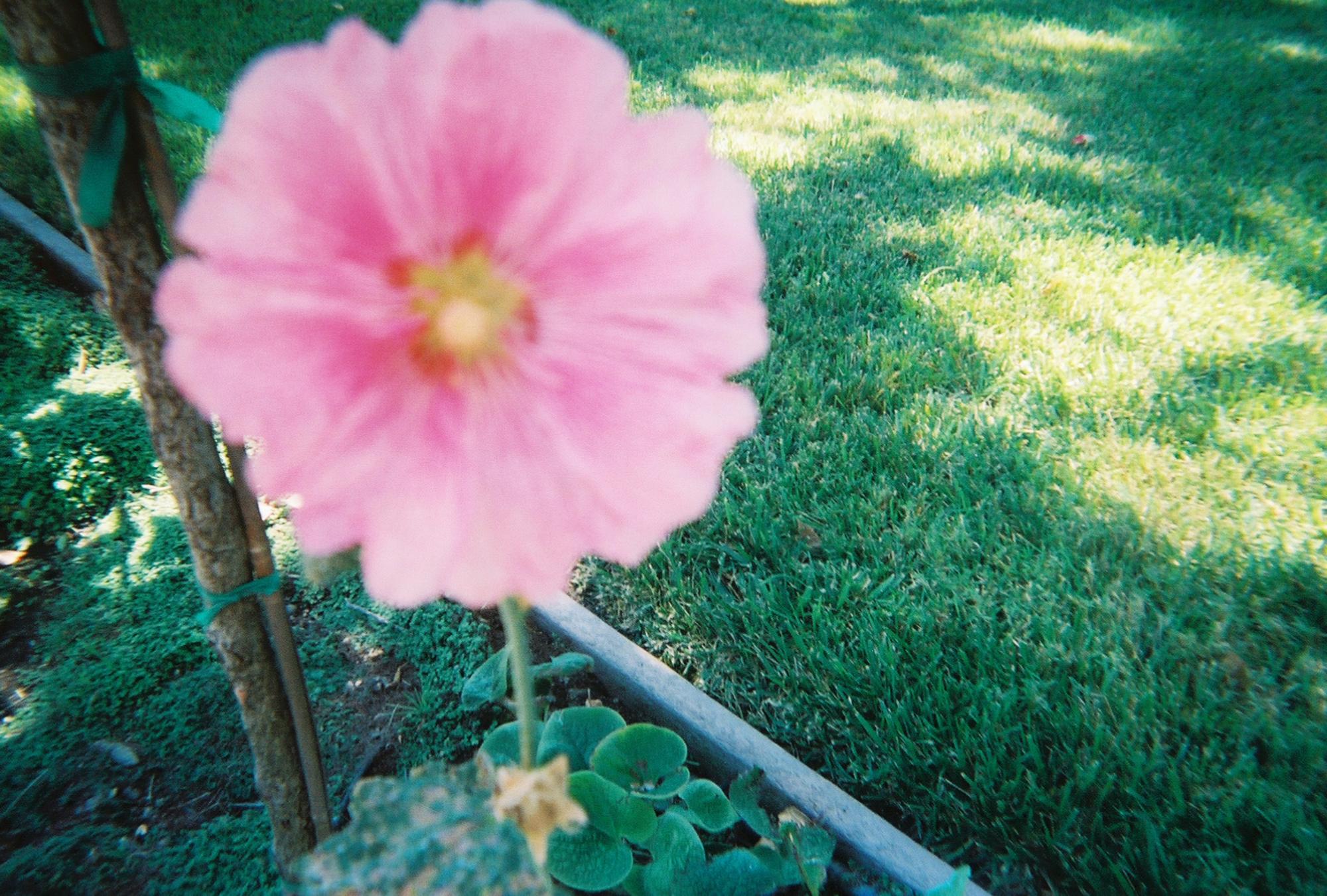 A flower in a community garden. (Photo courtesy ofSelijah Meacham.)